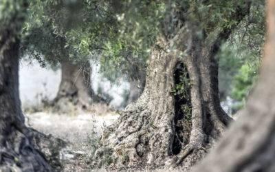 La canzone dell'ulivo di Giovanni Pascoli
