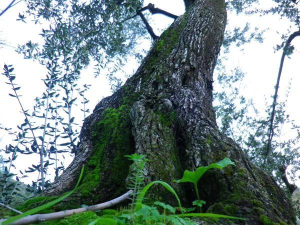 Omaggio a Camilleri: L'olivo di Montalbano 1